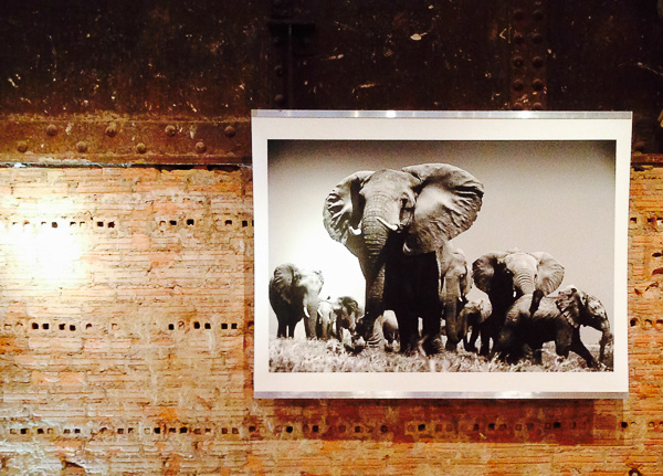 "Beverly Joubert ""The Family"" as part of the African Elephant Exhibit at ABC Home"