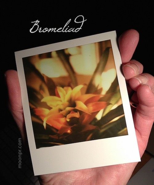 Bromeliad by Nancy Moon on SX70