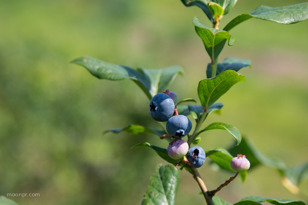 Blueberries by Nancy Moon.