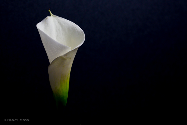Calla Lilly.