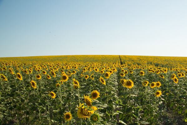 Sunflowers in El Coronil Spain