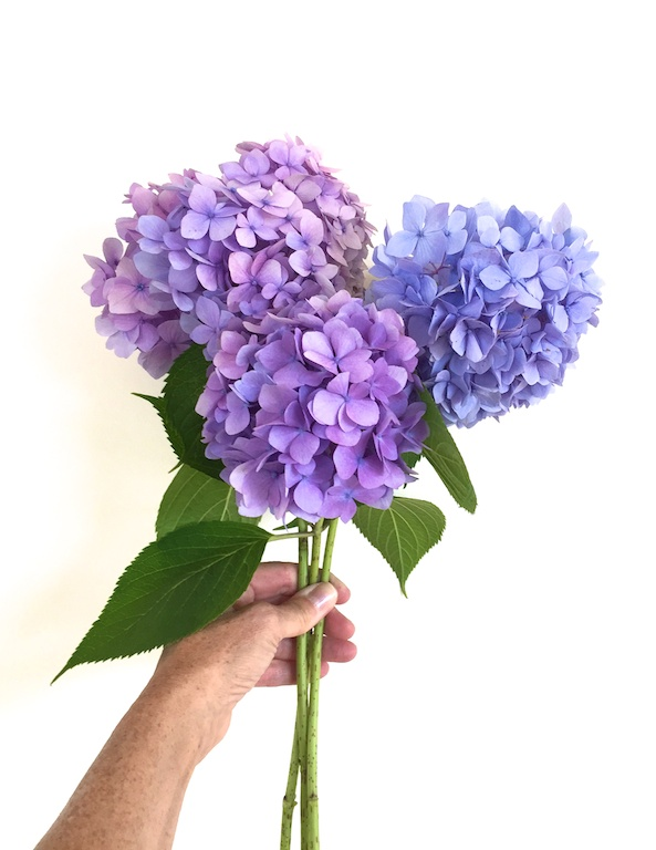 Steve grows hydrangea in the garden because he knows they are my favorite!