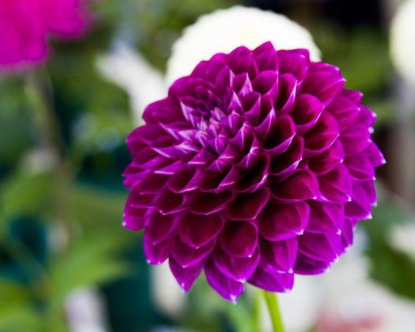 A ball dahlia by ©Nancy Moon