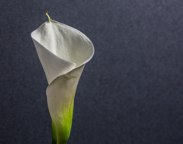 Calla Lilly by ©Nancy Moon