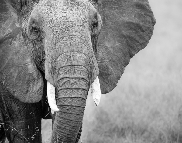 Elephant in Kenya, in black and white ©nancy moon