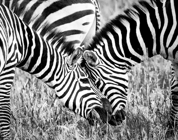 Zebra in black and white by ©Nancy Moon