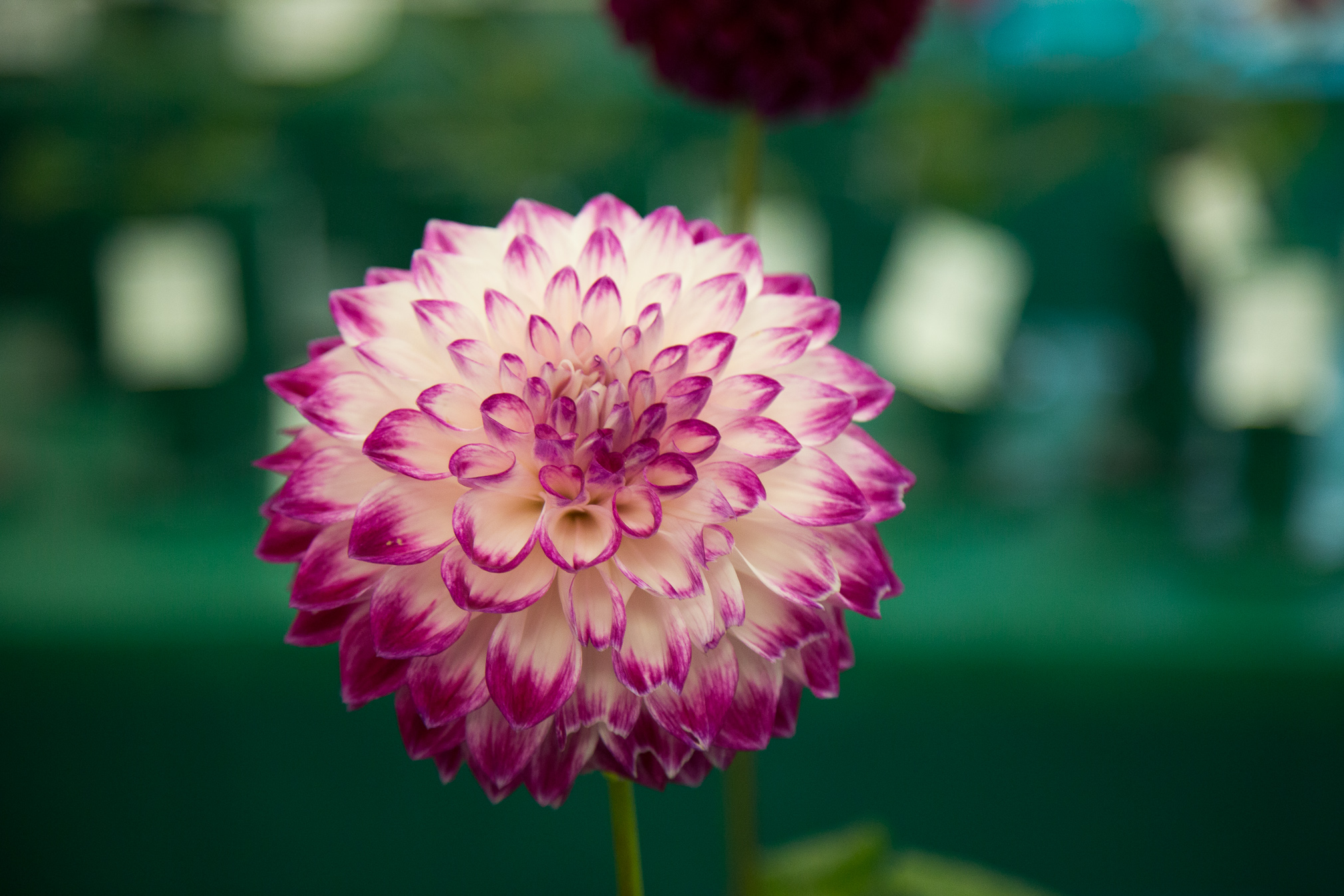 Portrait of a white and pink dahlia