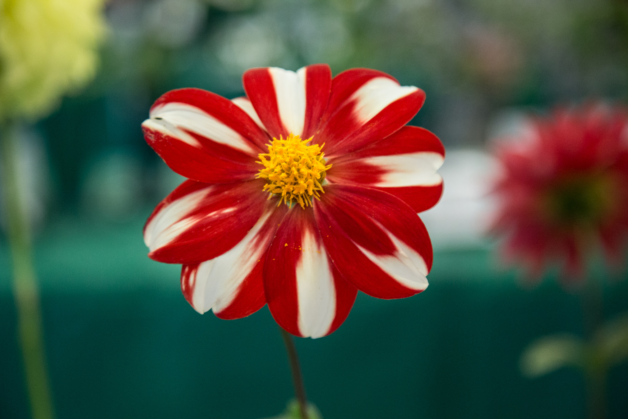Red and White Striped Dahlia