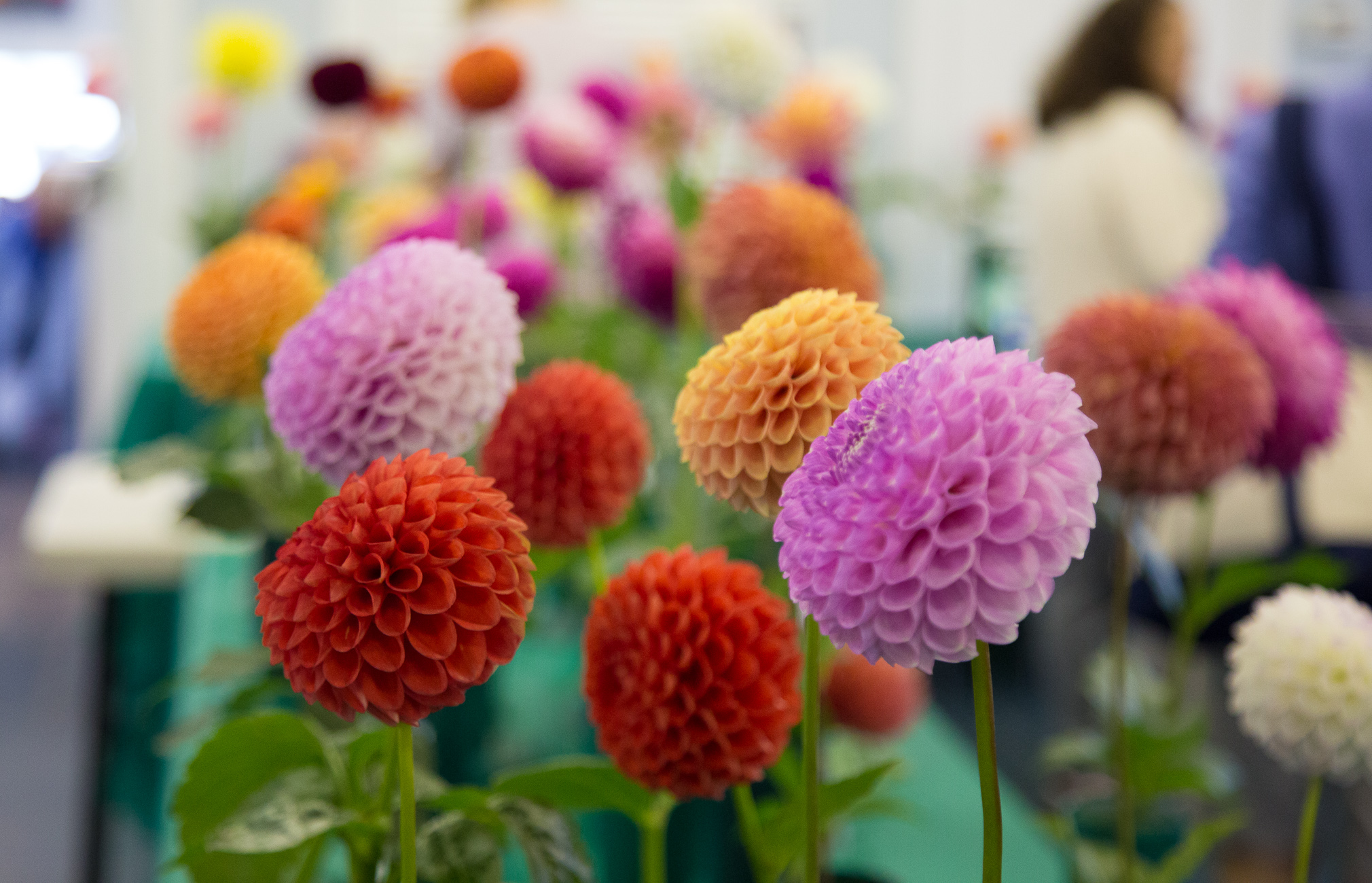 A field of multi-colored dahlias.