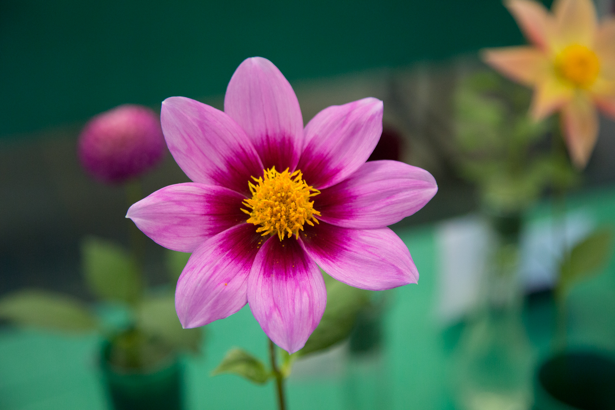 Pink Dahlia with Yellow Center